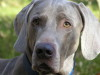 "ATLANT Just Weimaraner ""Amok"""