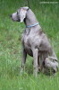 "BORN TO HUNT Just Weimaraner ""Derby"""