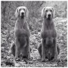 MOVIE!!! AALTO Just Weimaraner & DEEP FOREST Just Weimaraner!